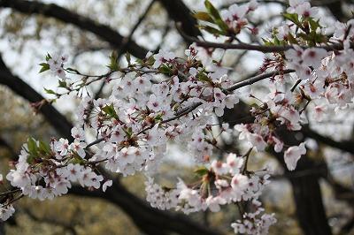 桜を撮るのも難しいのよ